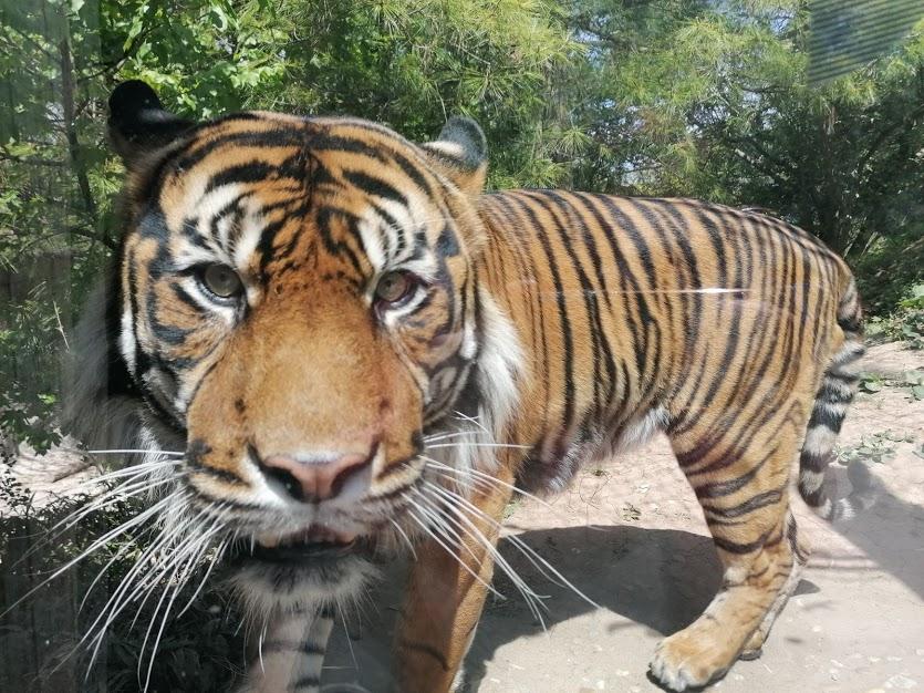 Tygr sumaterský, zoo Brno